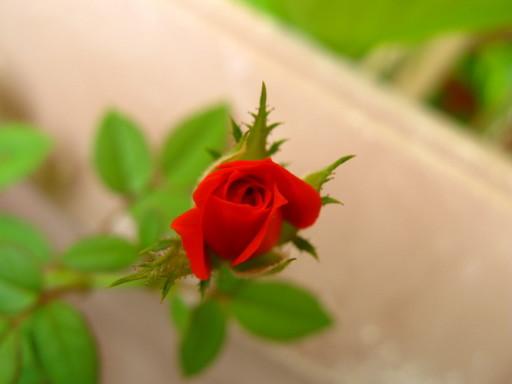 20110608  office mini rose 007.jpg