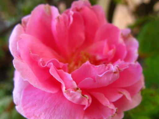 20110630 rose 001.jpg
