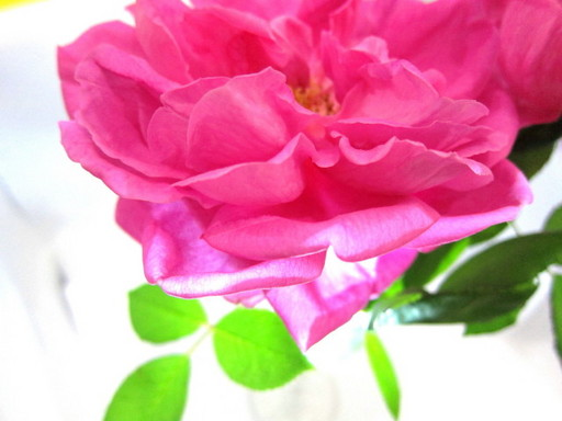 20120131 rose 005.jpg