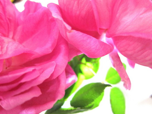 20120131 rose 007.jpg