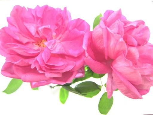 20120131 rose 008.jpg