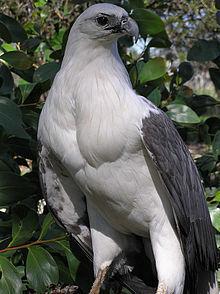 220px-Haliaeetus_leucogaster_-Gippsland,_Victoria,_Australia-8.jpg